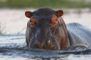 Hippo, up close and personal