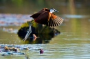 African jacana or lily trotter