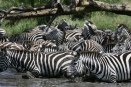 Zebra herd about to cross shallow Grumeti river