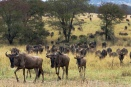 Wildebeest reach northern Serengeti woodlands