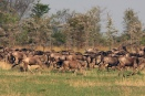 Wildebeest herd racing