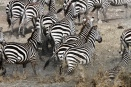 Zebras cross a shallow lake in the southern Serengeti