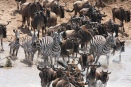Zebra and wildebeest brave the Mara river