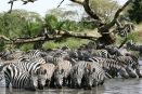Zebra migration drinking along Seronera river