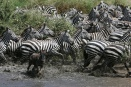 Zebra migration pushes through Seronera River - central Serengeti