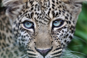 Close-up of 9 month old leopard cub in Masai Mara