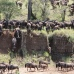 Huge buildup of herds on the banks of the Mara - wildebeests using several gulleys to get to the riverbank