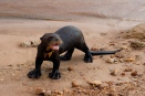 Giant otters are common in the Pantanal