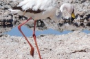 Andean flamingos thrive in the Atacama's harsh environment