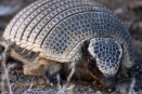 Patagonia's hairy armadillo