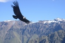 The majestic Andean condor's wingspan is only exceeded by the wandering albatross