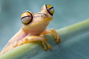 One of the many colorful frog species of the Amazon