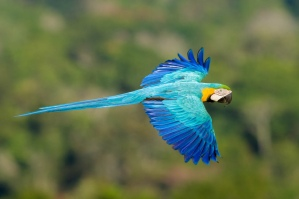 Blue macaws glides along the Amazon's canopy