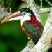 Stunning aracari or toucanette in the Pantana
