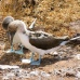 Blue footed boobies are endemic to the Galapagos Islands